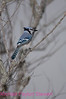 B61. Blue Jay (Cyanocitta cristata) No post-processing done to photo. Nikon NEF (RAW) files available. NPP Straight Photography.net