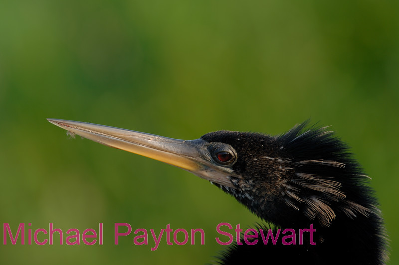 B40.  Anhinga 3. No post-processing done to photo. Nikon NEF (RAW) files available. NPP Straight Photography at noPhotoShopping.com
