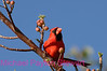 B20. Northern Cardinal 2 (Cardinalis cardinalis) No post-processing done to photo. Nikon NEF (RAW) files available. NPP Straight Photography at noPhotoShopping.com