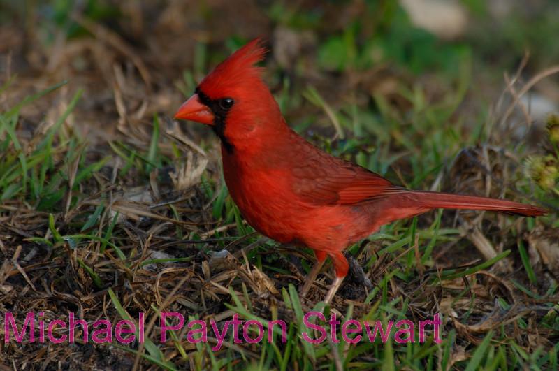 B30. Northern Cardinal 5 (Cardinalis cardinalis) No post-processing done to photo. Nikon NEF (RAW) files available. NPP Straight Photography at noPhotoShopping.com