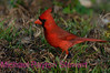 B30. Northern Cardinal 5 (Cardinalis cardinalis) No post-processing done to photo. Nikon NEF (RAW) files available. NPP Straight Photography at noPhotoShopping.com