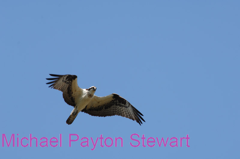 B128. Osprey. No post-processing done to photo. Nikon NEF (RAW) files available. NPP Straight Photography at noPhotoShopping.com