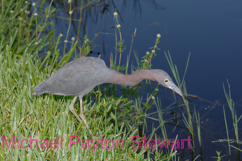 B43. Little Blue Heron  (Ardea herodias) No post-processing done to photo. Nikon NEF (RAW) files available. NPP Straight photography at noPhotoShopping.com