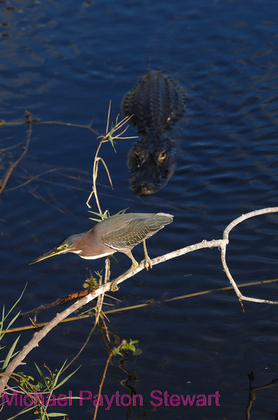 B84. Alligator stalking Green Heron. No post-processing done to photo. Nikon NEF (RAW) files available. NPP Straight Photography at noPhotoShopping.com