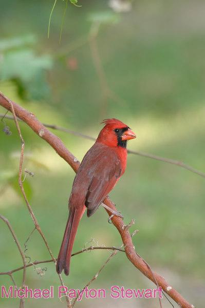 B106. Northern Cardinal (Cardinalis cardinalis) No post-processing done to photo. Nikon NEF (RAW) files available. NPP Straight Photography at noPhotoShopping.com