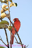 B50. Northern Cardinal 7 (Cardinalis cardinalis) No post-processing done to photo. Nikon NEF (RAW) files available. NPP Straight photography at noPhotoShopping.com