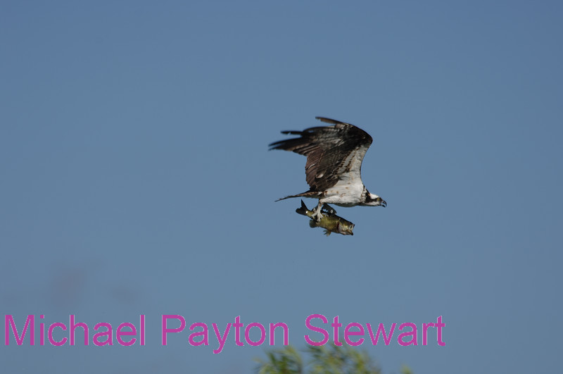 B90. Osprey with Big Black-bass 2. No post-processing done to photo. Nikon NEF (RAW) files available. NPP Straight Photography at noPhotoShopping.com