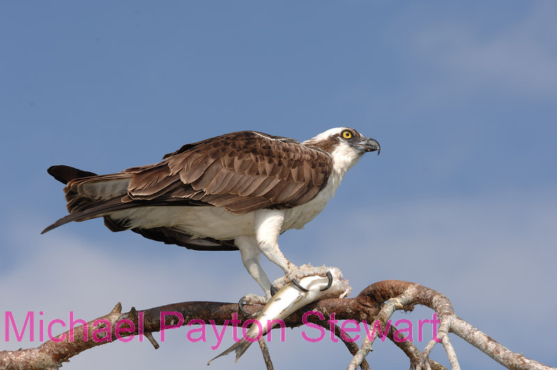 B140. Osprey Eating Fish 2. No post-processing done to photo. Nikon NEF (RAW) files available. NPP Straight Photography at noPhotoShopping.com