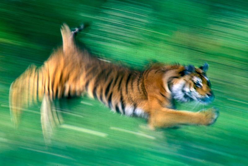 Siberian Tiger in motion