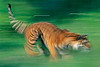 Siberian Tiger in motion