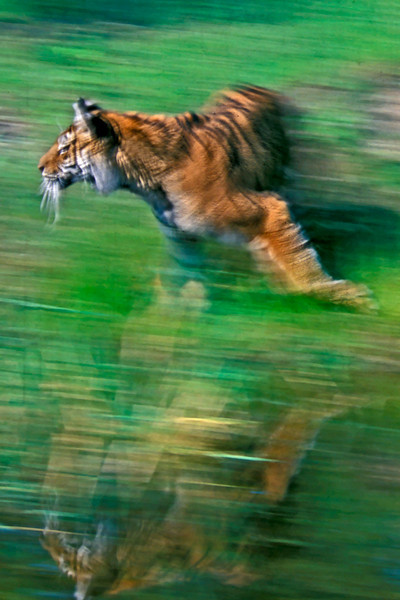 Tiger in motion