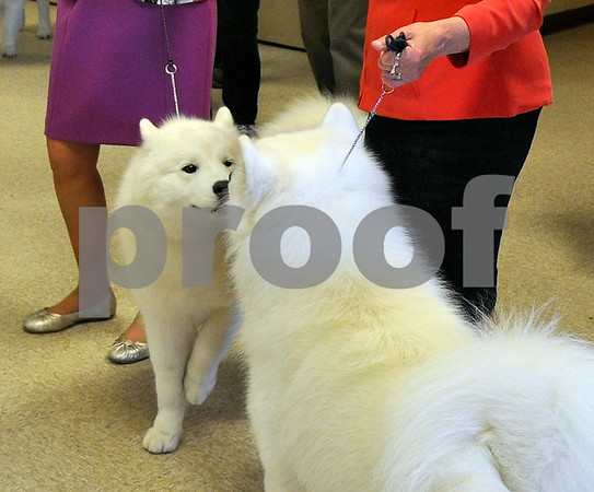 -Messenger photo by Joe Sutter<br /> <br /> Samoyed siblings meet and greet after lunch Sunday before their turn in the conformation ring.