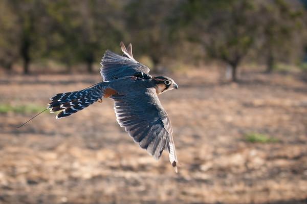 Falconry 2014