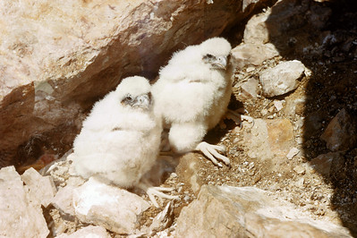 Peregrine Falcon (Falco peregrinus), 20 days old, Weber Co., Utah, 25 June 1952