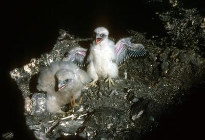 Peregrine Falcon (Falco peregrinus) eyrie Baja California, Mexico, 1978