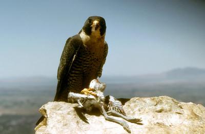 Peregrine Falcon (Falco peregrinus) eyrie Ogden, Weber Co., Utah, 1950