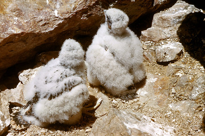 Peregrine Falcon (Falco peregrinus), 25 days old, Weber Co., Utah, 29 June 1952