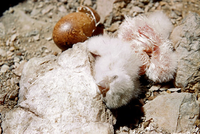 Peregrine Falcon (Falco peregrinus), newly hatched and 1-day old chicks, Weber Co., Utah, 5 June 1952