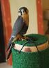 Aplomado breeder.   Falco femoralis pichinchae.