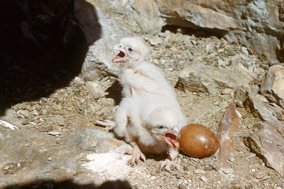 Peregrine Falcon (Falco peregrinus), 2 days old, Weber Co., Utah, 7 June 1952