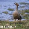 Upland Goose( Chloephaga picta leucoptera); These birds are very common.
