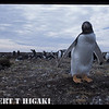 On Pebble Island <br /> Gentoo checking me out. It is the younger ones tend to be curious.