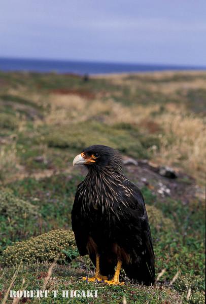 Striated Caracara, Sea Lion Island, Falklands UK