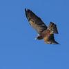Griffon, Swainson's Hawk.