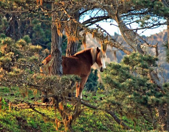 Fantasy Horse- Mendocino