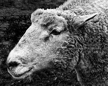 Sheep, Bennington, VT   #343 black/white filter