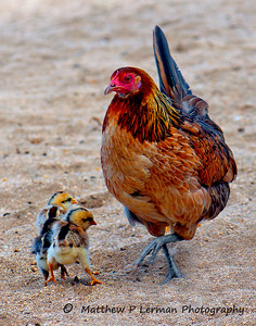 Hen with chicks on the beach in Kauai