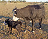 Ebony and her calf Oreo. This is Ebony's thrid calf and second heifer.