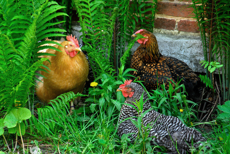 Chickens - 01