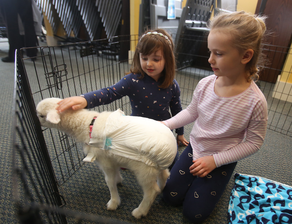 . Farm Visits brings their travelling petting zoo of baby farm animals to Pollard Memorial Library. Peyton Matte, 4, of Lowell, left, and Mairin Monaghan, 5, of Lowell, pet Vivian, a lamb named after Tom Brady\'s daughter because she was born on Super Bowl Sunday. Vivian\'s wearing a diaper because she\'s not house-trained. (SUN Julia Malakie)