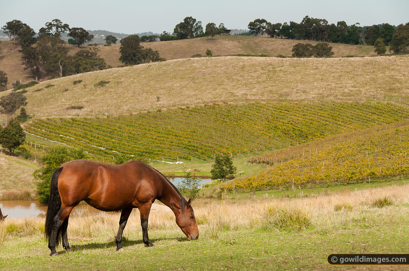 Horse grazing in the rolling pastures of the Yarra Valley