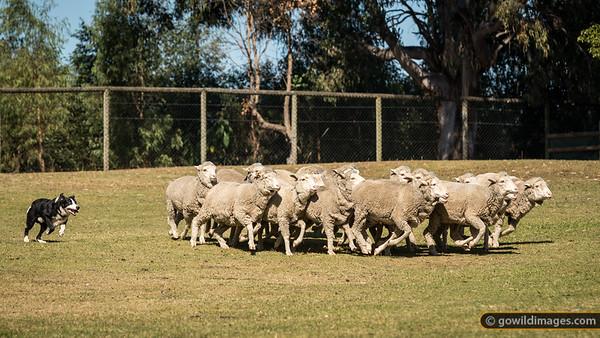 Sheepdog roundup