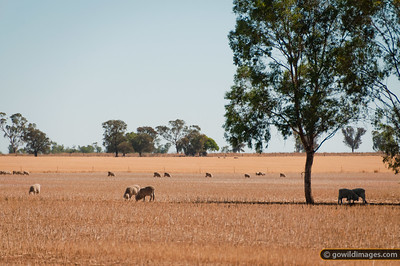 Sheep grazing after summer hay harvest, near Terrick Terrick NP