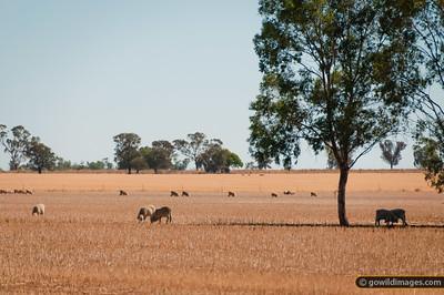Sheep grazing after summer hay harvest, near Terrick Terrick NP