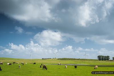 Jersey dairy cows grazing beside Codrington wind farm
