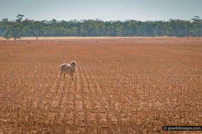 Sheep grazing after summer hay harvest, Terrick Terrick NP behind