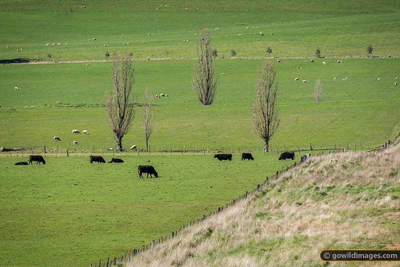 Grazing Black Angus cows near Mansfield
