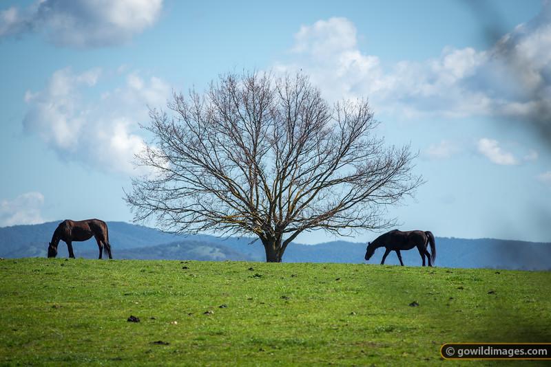 Horses grazing near Mansfield