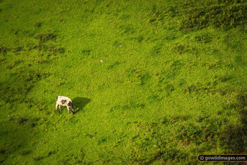 Fresian dairy cow grazes peacefully on a steep hillside. Princetown-Lavers Hill region.