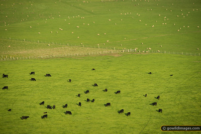 The Yin-Yang of Black Angus cattle and sheep!