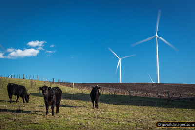Black Angus beef cattle below wind turbines