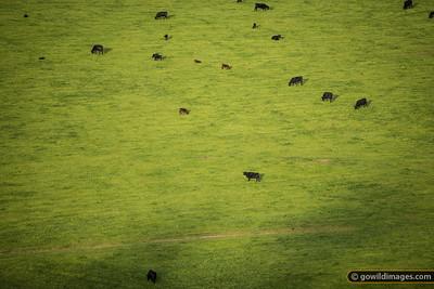 Cattle grazing in a peaceful valley scene East of Buchan