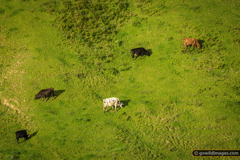 Fresian and Jersey dairy cows graze peacefully on a steep hillside. Princetown-Lavers Hill region.