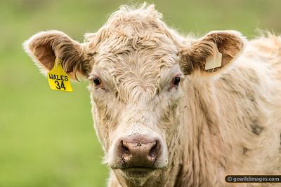 Creamy Cow