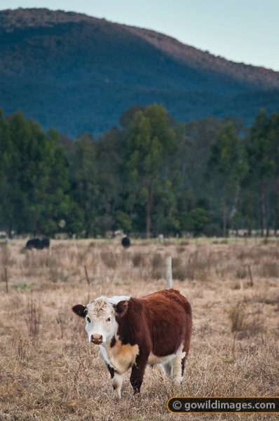 Hereford beef cow grazing in the shadow of Mt Samaria State Park, near Swanpool.