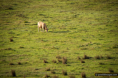 Lone white cow grazing